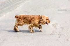 La raza cocker spaniel del perro de Brown corre por el road_ foto de archivo