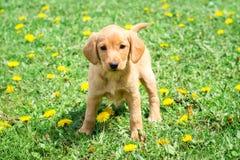 La raza cocker spaniel del perro se coloca en hierba entre flowers_ del diente de león fotos de archivo