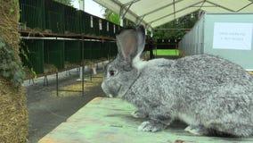 La raza de la chinchilla gigante del conejo, la exposición almacen de metraje de vídeo