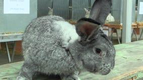 La raza de la chinchilla gigante del conejo, la exposición metrajes