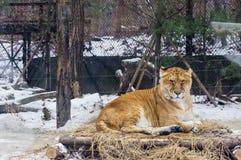 La raza de mezcla entre el león y el tigre el ` s llamó Liger en Ko Imagenes de archivo