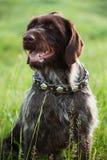 La raza de pelo corto del perro de caza del indicador se está sentando fotos de archivo