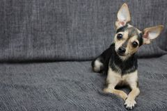 La raza del perro la raza de Terrier miente en el sofá imagen de archivo