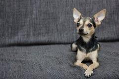 La raza del perro la raza de Terrier miente en el sofá fotografía de archivo