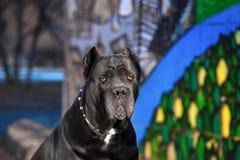 La raza elegante del perro el bastón Corso está mintiendo en parque del otoño fotografía de archivo