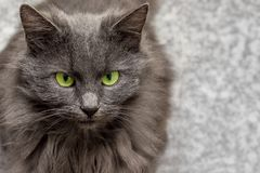 La raza gris del gato con los ojos verdes en un fondo borroso, libera a t Imagen de archivo