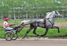 La raza gris del trotón de Orlov del caballo en el movimiento Imagenes de archivo