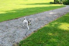 La raza Jack Russell del perro va al dueño con la bola en su boca en el parque fotografía de archivo libre de regalías