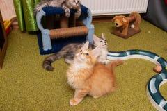 La raza Maine Coon del gatito mira para arriba fotografía de archivo