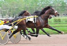 La raza oscura del trotón del caballo de bahía en el movimiento Imagen de archivo libre de regalías