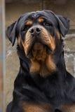 La raza Rottweiler del perro foto de archivo libre de regalías