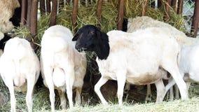 La raza somalí de las ovejas - aries del Ovis almacen de video