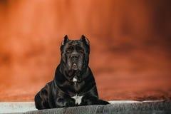 La razza elegante del cane la canna Corso sta trovandosi nel parco di autunno fotografie stock libere da diritti