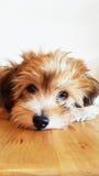 La razza Shih Tzu del cane che esamina la macchina fotografica Fotografie Stock Libere da Diritti