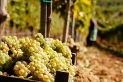 La récolte de raisin Image libre de droits