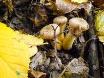 La recherche des champignons dans les bois Les champignons de Honey Agaric se développent sur un arbre dans le groupe de forêt d' images libres de droits