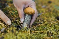 La recherche des champignons dans les bois Récolteuse de champignon Une femme coupe un champignon blanc avec un couteau image libre de droits