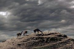 La recherche du lama Images stock