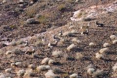 La reclinación de las ovejas de carnero con grandes cuernos (canadensis del Ovis) Foto de archivo
