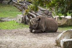 La reclinación femenina de las mentiras del rinoceronte rodeada por la hierba y los árboles foto de archivo
