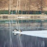 La reclinación soñolienta ducks en la masa de hielo flotante de hielo, hielo de deriva en el río Invierno en ciudad Paisaje del r fotos de archivo libres de regalías