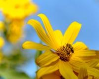 La recogida de la abeja polen de las flores amarillas fotos de archivo libres de regalías