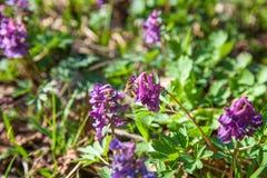 La recogida de la abeja polen y néctar en las flores salvajes púrpuras de la flor de Imagenes de archivo