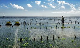 La recogida indonesia del granjero crece algas marinas en una cesta de su granja del mar, Nusa Penida, Indonesia Foto de archivo libre de regalías