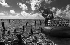 La recogida indonesia del granjero crece algas marinas en una cesta de su granja del mar, Nusa Penida, Indonesia Imagen de archivo