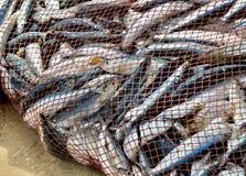 La red es llena de pescados. ¡Retén agradable! Foto de archivo libre de regalías
