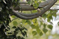 La Reed-curruca grande o de Basra se encaramó en una rama de árbol foto de archivo
