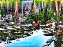 La reflexión de un pato Foto de archivo