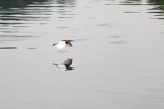La reflexión del pájaro en agua Imagenes de archivo