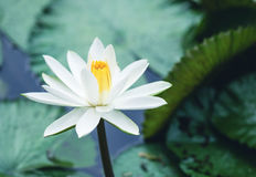 La reflexión hermosa de la flor de loto blanco o del lirio de agua con t Fotos de archivo