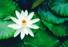 La reflexión hermosa de la flor de loto blanco o del lirio de agua con t Foto de archivo