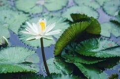 La reflexión hermosa de la flor de loto blanco o del lirio de agua con t Imagen de archivo