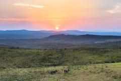 La regolazione del sole sui rinoceronti Immagini Stock