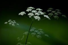 La Reine Anne Lace Plant images libres de droits