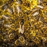 La reine des abeilles pond des oeufs dans le nid d'abeilles Photo stock