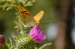 La reine du papillon de fritillaire de l'Espagne, lathonia d'Issoria, est sittin image libre de droits