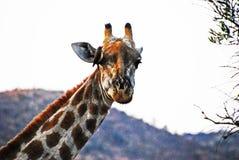 La relación entre el pájaro y la jirafa fotos de archivo libres de regalías