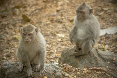 La relazione delle scimmie Fotografia Stock