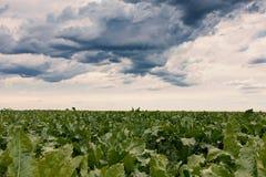 La remolacha cosecha el campo, paisaje agrícola foto de archivo