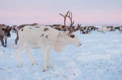 La renna nei mandriani della renna di Nenets si accampa Immagine Stock