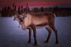 La renna su neve e sulla macchina fotografica esaminante rossa con guardare fisso osserva Fotografie Stock Libere da Diritti
