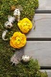 La renoncule persane jaune fleurit (ranunculus) sur la mousse Image libre de droits