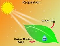 La respiración de una planta ilustración del vector