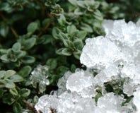 La respiración fría pasada del invierno en el tomillo despertado foto de archivo libre de regalías