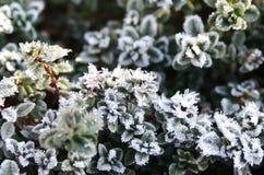 La respiración fría pasada del invierno en el tomillo despertado fotos de archivo