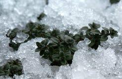 La respiración fría pasada del invierno en el tomillo despertado fotos de archivo libres de regalías